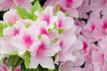 N116_pinknotutuji-thumb-1000xauto-14554.jpg
